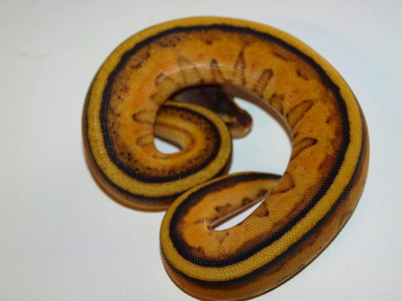 Pastel Genetic Stripe ♂