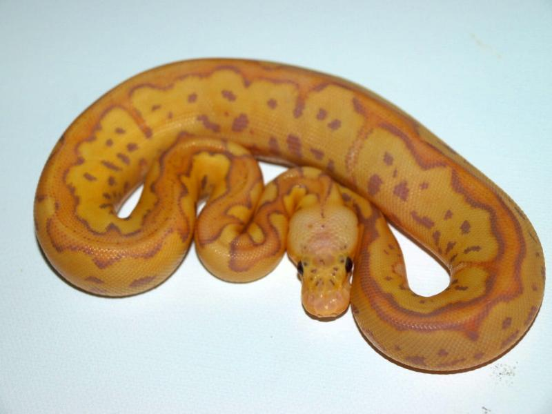 Pastel Banana Clown ♀ NFS